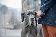Sebastian, a Great Dane, stands with his owner on 16th and Platte Street in Denver, Colorado on March 18, 2014.