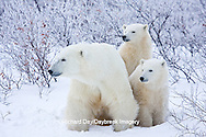 01874-11704 Polar Bears (Ursus maritimus) female and 2 cubs, Churchill Wildlife Management Area,  MB