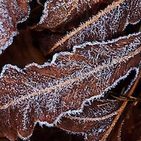 Morning Frost on Autumn Sensitive Fern (Onoclea sensibilis), Blackwater National Wildlife Refuge, Cambridge, MD
