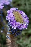 Prairie Verbena (Verbena bipinnatifida),  Gilliespie County, Texas