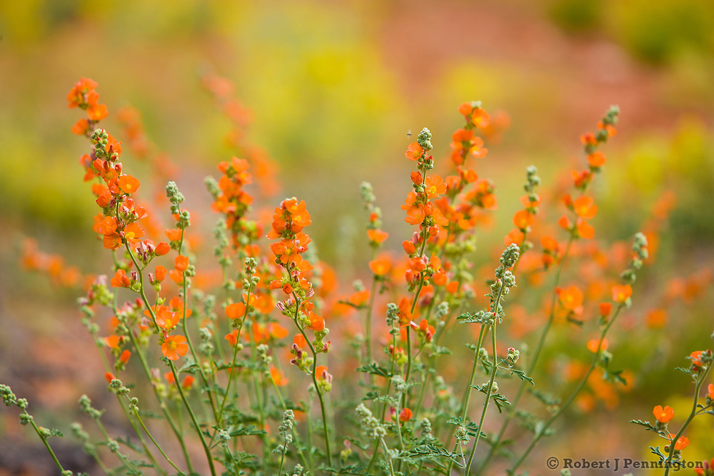 Globe Mallow plant in the desert of Southern Utah