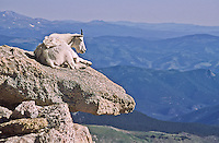 Mountain goats (Oreamnos americanus) are found on rock outcroppings, cliffs and on the alpine tundra.  Mount Evans, Colorado.