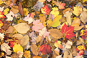 Autumn leaves floating in a shollow pool in Vermont's Green Mountains.