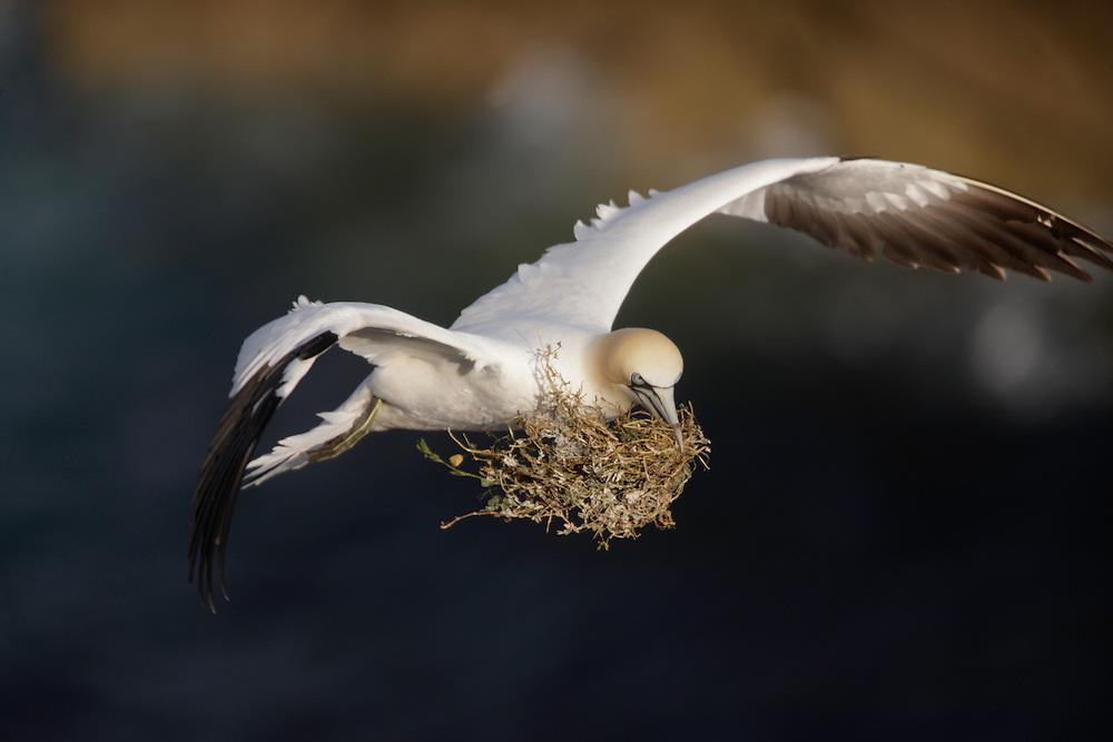 Gannets, Sula bassana,  witn nest material Ireland Saltee Islands