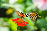 A Leopard Lacewing (Cethosia cyane) covers the flower it is feeding on to try to prevent other butterflies from feeding on the same flower. (Cambodia)