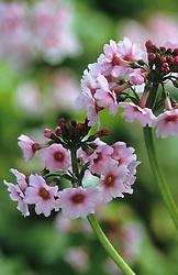Primula japonica - Japanese primrose