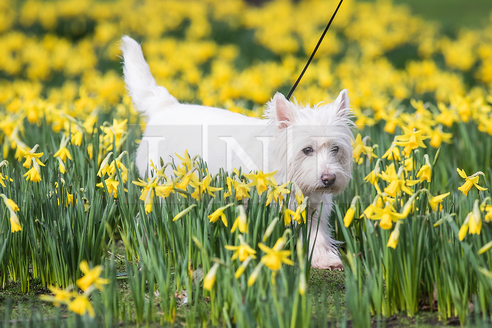 © Licensed to London News Pictures. 28/02/2017. London, UK. Milou the dog frolics among yellow daffodils which have flowered early in St James's Park London, an early sign of Spring. Photo credit: Rob Pinney/LNP