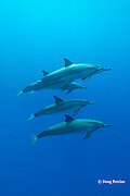Hawaiian spinner dolphins or long-snouted spinner dolphins, or Gray's spinner dolphins, Stenella longirostris longirostris, Honaunau, Kona, Hawaii ( the Big Island ) Central Pacific Ocean
