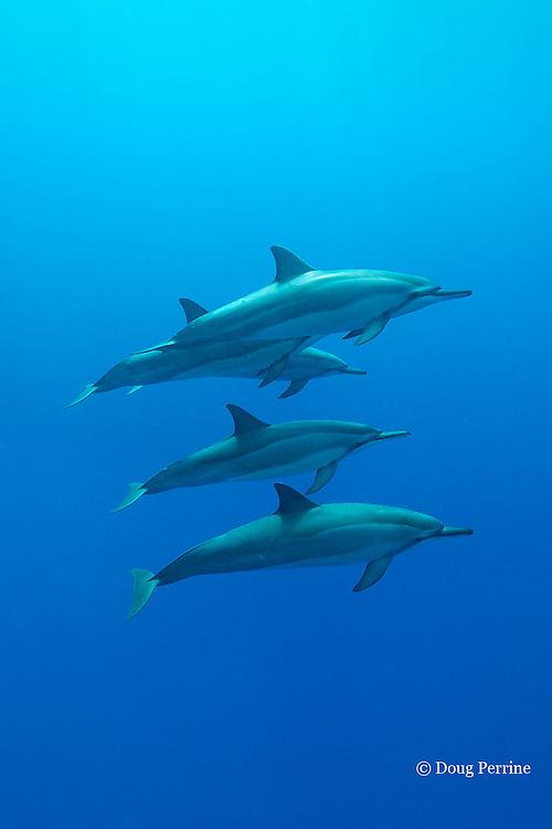 Hawaiian spinner dolphins or long-snouted spinner dolphins, or Gray's spinner dolphins, Stenella longirostris longirostris, Honaunau, Kona, Hawaii ( the Big Island ) Central Pacific Ocean
