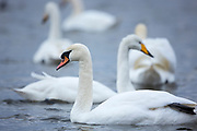 Mute Swan, Cygnus olor, front with Whooper Swan, Cygnus cygnus, behind at Welney Wetland Centre, Norfolk, UK