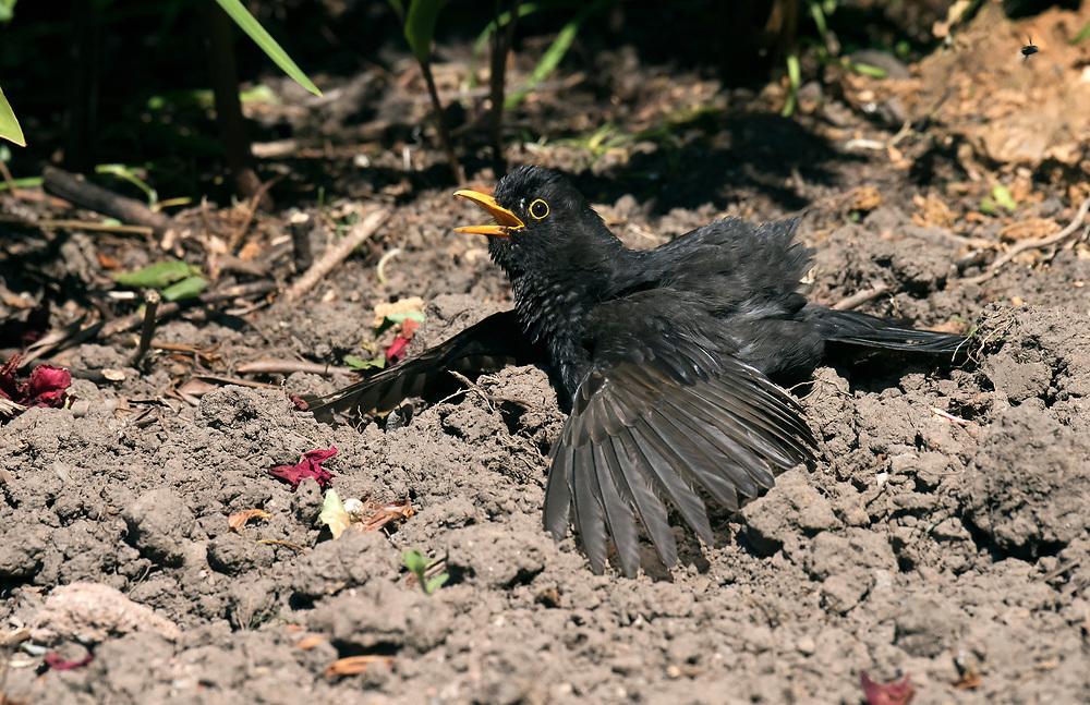 Blackbird - Turdus merula - male