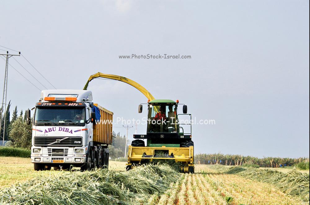 Israel, Jordan Valley, Kibbutz Ashdot Yaacov, Wheat harvest for silage