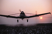 Crop dusting. Spraying cotton prior to harvest with defoliant (Paraquat) in Kern County, California, USA..