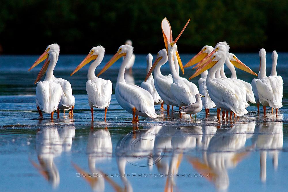 White pelicans, onocrotalus pelecanus, resting on sandbar near Sebastian Inlet State Park, Florida
