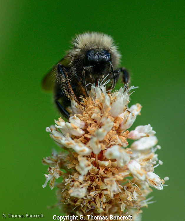 Western bumblebee forages at the top of a flower.