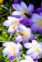 Switzerland. Springtime. Lovely blue and white crocusses attracting two different types of bee.