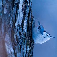 White-breasted Nuthatch (Sitta carolinensis) in winter, Hopkins Memorial Forest, Williamstown, Berkshires, Massachusetts