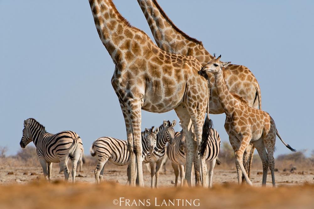 Giraffes, Giraffa camelopardalis, and zebras, Equus quagga, Etosha National Park, Namibia