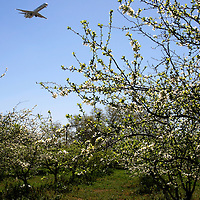 Plane Flying Over Preserved Orchard San Jose, California