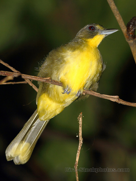 Yellow-lored Bristlebill, Bleda notatus, Cameroon, by Markus Lilje