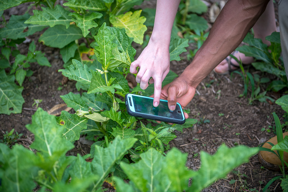 Two people take pictures of plants with their cell phones Ganta, Liberia