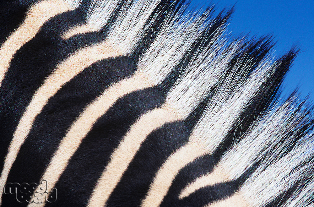 Zebras maine close-up