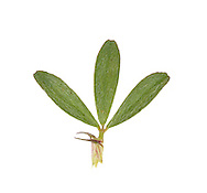 Hare's-foot Clover - Trifolium arvense