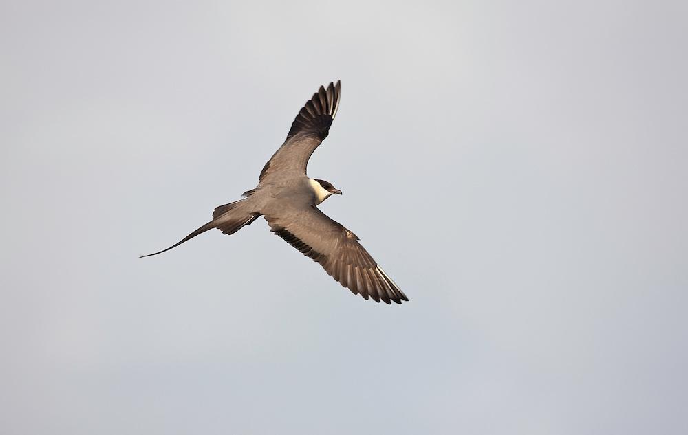 Iceland; Long-tailed SKua; Stercorarius longicaudus; Thingeyjarsyslur