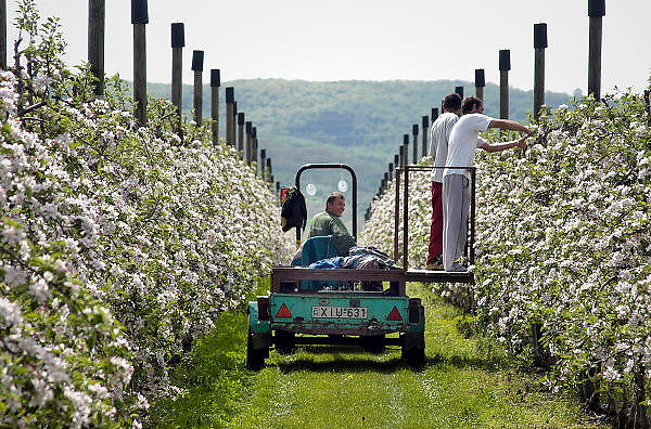 Hongarije, Zalaszanto, 30-4-2004Hongaarse arbeidskrachten onderhouden de grote appelboomgaard opgezet door een ondernemer uit Nederland. Economie, Landbouw, Fruitproductie, goedkoop produceren, eu, e.u., Europese unie, fruitteelt, grondprijs, lonen, loonkosten, werknemers kosten productie.Foto: Flip Franssen/Hollandse Hoogte