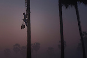 Ko Aung Myo climbing a palm tree to extract the sap, used to make products such as sugar or beer. At Ka Myaw Gyi village in the outskirts of Dawei, Myanmar.