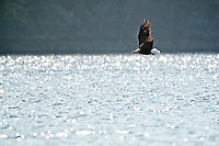 As it flies over Lake Coeur d'Alene, a bald eagle searches for fish close to the surface.