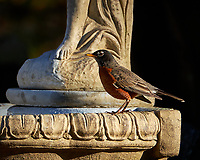 Red-breasted Robin checking out the newly restored bird bath. Autumn Backyard Nature in New Jersey. Image taken with a Fuji X-T2 camera and 100-400 mm OIS telephoto zoom lens (ISO 200, 400 mm, f/5.6, 1/480 sec).