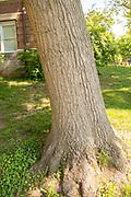 college green, Mapp Athens, summer, Tree Tour, Scarlet Oak