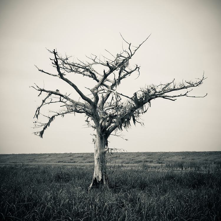 Solitary dead tree in a sugar cane field on the banks of Lake Okeechobee near Belle Glade, Florida