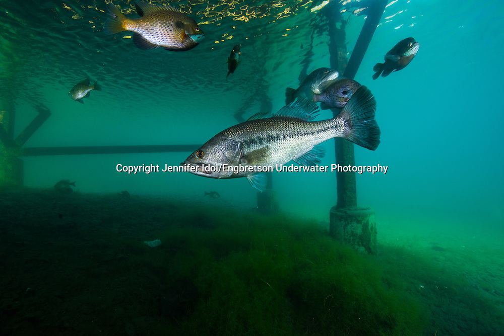Largemouth Bass (under boat dock)<br />