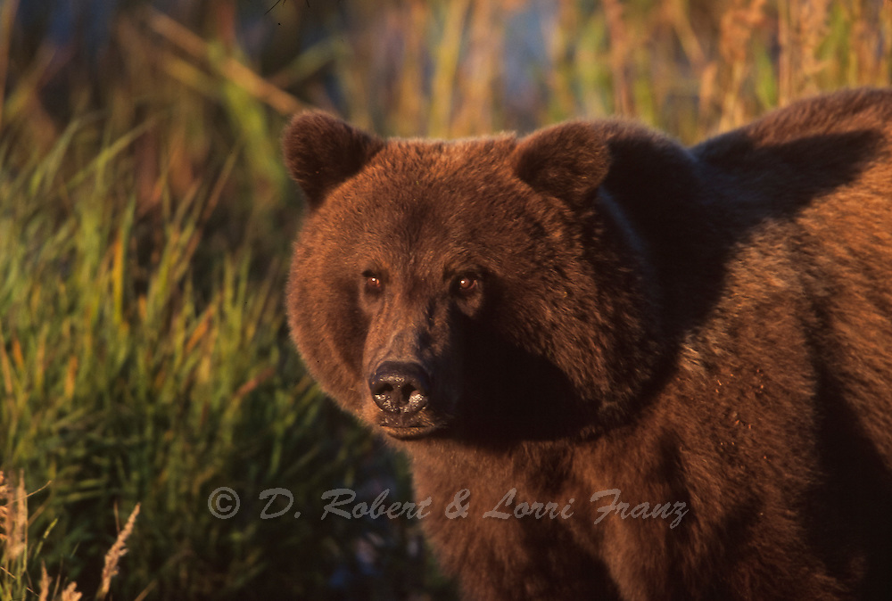 Alaskan brown bear in Katmai National Park