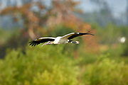 Wood Stork, (Mycteria americana), collecting nesting material, Arthur J Marshall National Wi   Photo: Peter Llewellyn