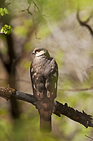 A Coopers Hawk deep in the scrub oak canopy perches on a branch resting.