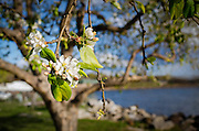 Apple blossoms in bloom on a wild apple tree Malus pumila by the Hudson River, Croton-on-Hudson, Westchester County, New York USA. Clusters of white flowers and pink buds attract butterflies and birds in the spring.