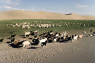 Mongolia. goats  on  dunes and desertification  Durgun Nuur Lake  goats   / dunes de sable desertification   Durgun Nuur Lake  Mongolie