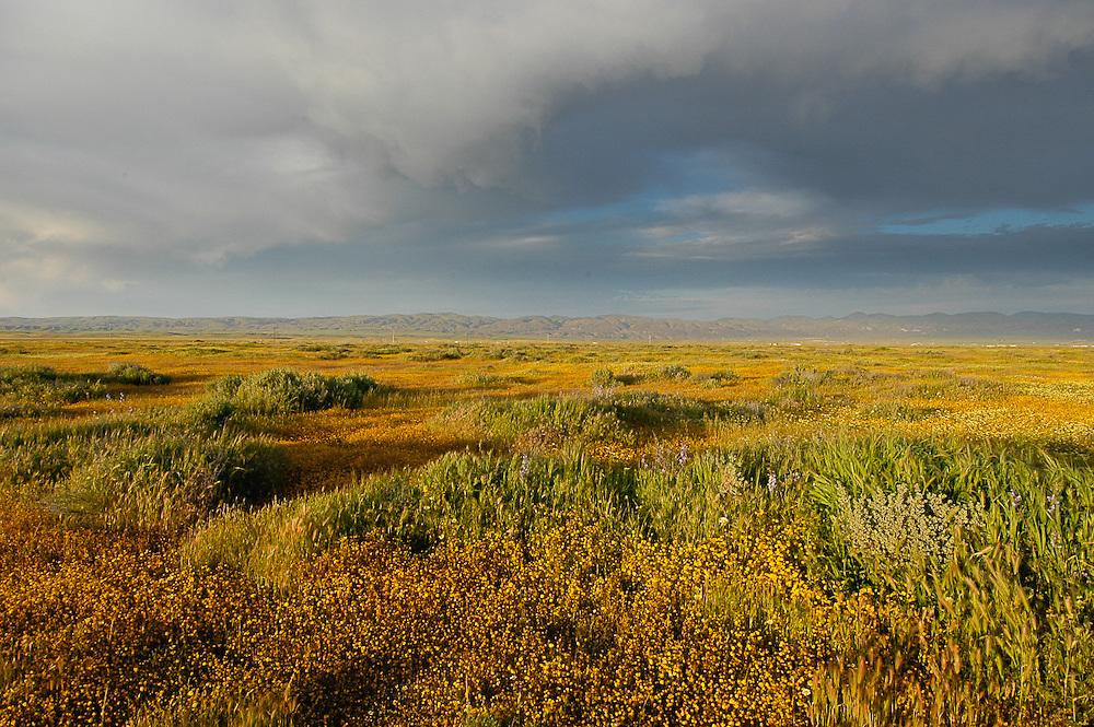 Goldfields, Lasthenia californica, on the Carrizo Plain