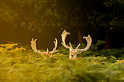 UNITED KINGDOM, London: 04 August 2015 Fallow deer stand amongst ferns as the sun rises in Richmond Park this morning. After a day of sunshine today, it is set to rain tomorrow. Rick Findler / Story Picture Agency