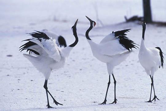 Japanese Crane or Red- crowned Crane, (Grus japonensis) Breeding ritual. Hokkaido, Japan