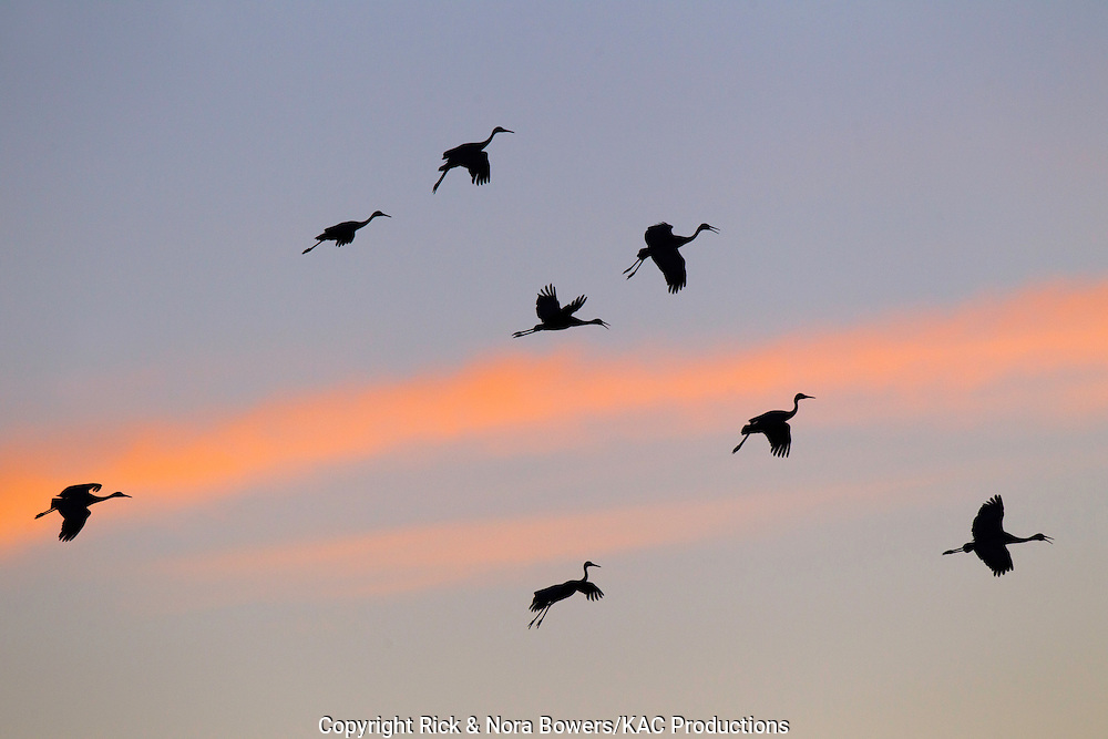 Sandhill Crane <br /> Grus canadensis<br /> Bosque del Apache National Wildlife Refuge, New Mexico, United States<br /> 15 December         Group of birds landing against sunset.         Gruidae