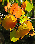 """Tree leaves turn bright orange and yellow in Upper Engadine, Switzerland, the Alps, Europe. The Swiss valley of Engadine translates as the """"garden of the En (or Inn) River"""" (Engadin in German, Engiadina in Romansh, Engadina in Italian)."""