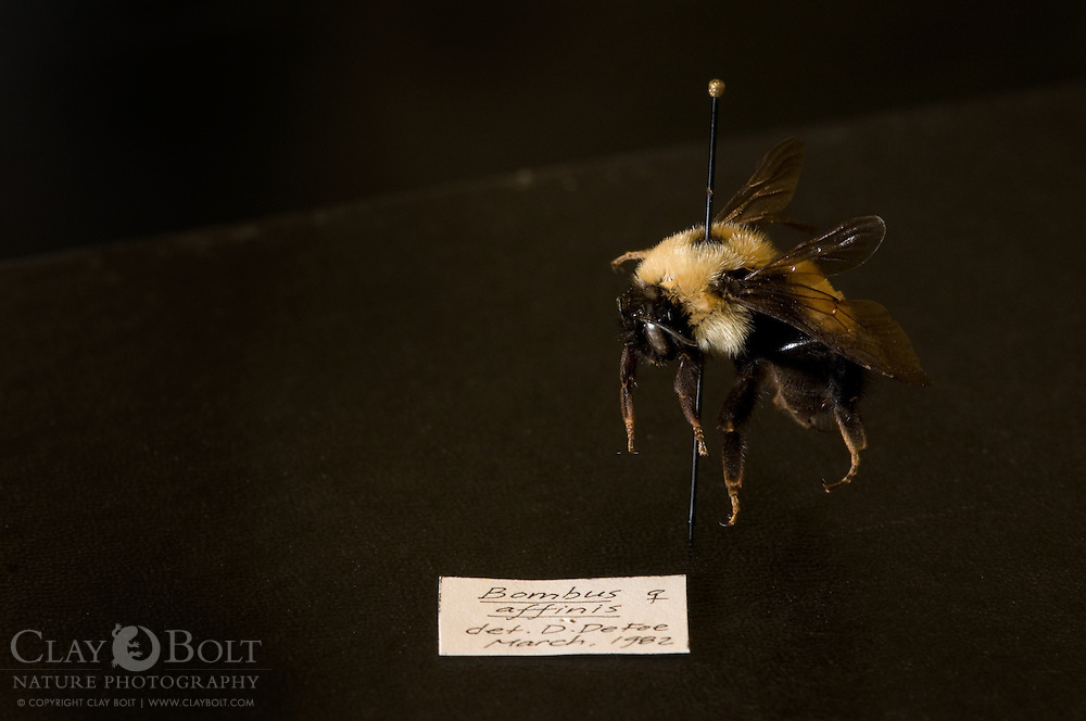 A preserved specimen of the Rusty Patched Bumble Bee (Bombus affinis), female, worker in Great Smoky Mountains National Park's invertebrate collection. A species that has declined 87% in the past 15 years due primarily to an introduced EurAsian pathogen.
