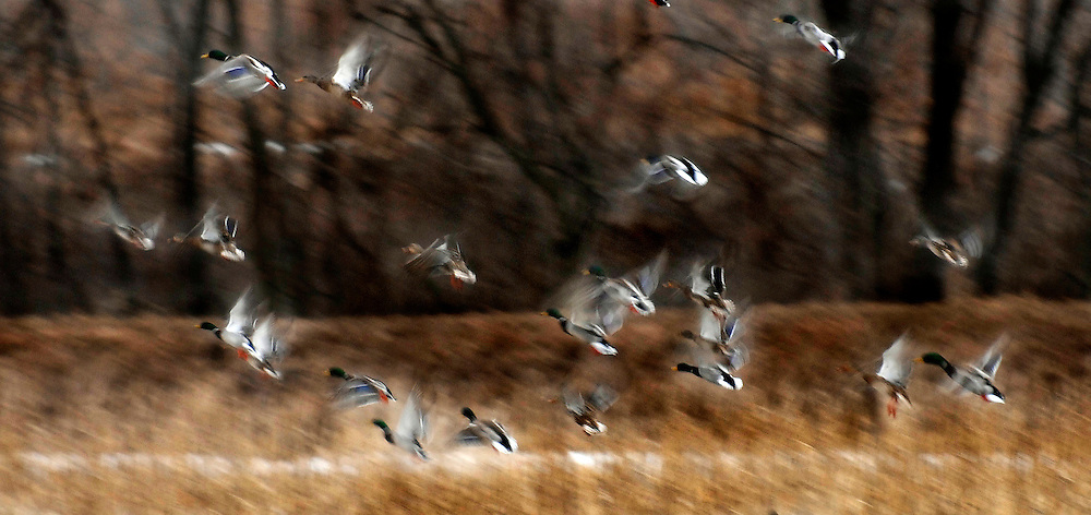 Ducks take flight from a flooded corn field near the Illinois River. ©David Zalaznik