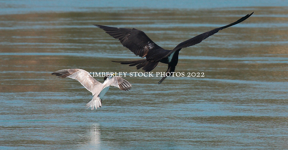 A frigate bird in pursuit of a whiskered tern on the Kimberley coast.  The frigate birds chase terns to steal freshly caught fish.