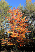 The exuberant, orange maple tree, photographed on a remote fire trail north of McMillan Michigan, really stands out from the crowd.