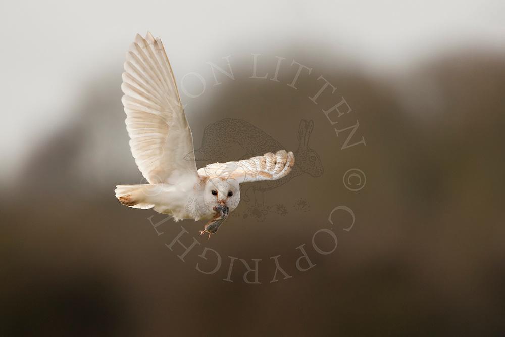 Barn Owl (Tyto Alba) adult in flight carrying prey, Norfolk, UK.
